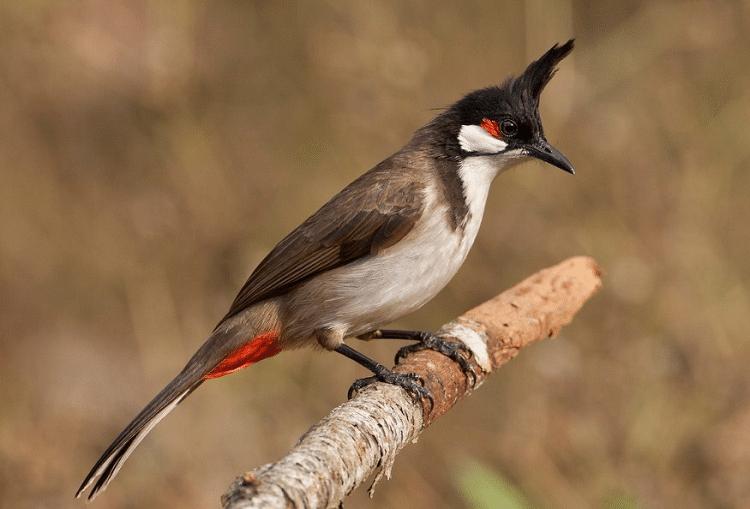 1550980856_24-02-2019_Burung-Kutilang-Jambul